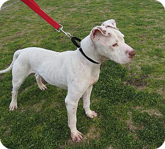 American Pit Bull Terrier Mix Dog for adoption in Scottsdale, Arizona - Joey
