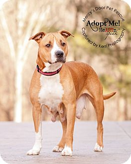 American Pit Bull Terrier/Bull Terrier Mix Dog for adoption in Medina, Ohio - Addie