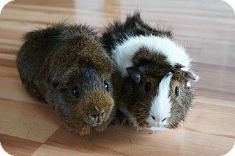 Guinea Pig for adoption in Brooklyn Park, Minnesota - Junior