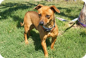 Dachshund Mix Dog for adoption in Yuba City, California - Rascal