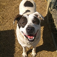 American Bulldog/Labrador Retriever Mix Dog for adoption in Nashville, Georgia - Bama