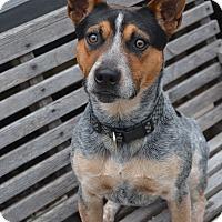 Adopt A Pet :: Stetson - Bridgeton, MO