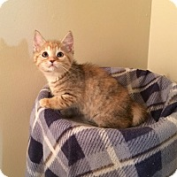 Domestic Shorthair Kitten for adoption in Davison, Michigan - Matilda