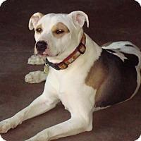 Hound (Unknown Type)/Pit Bull Terrier Mix Dog for adoption in Tucson, Arizona - Lulu