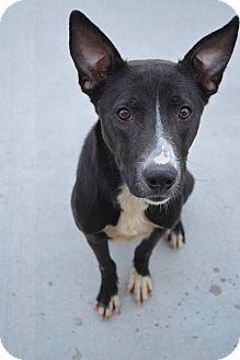 Shepherd (Unknown Type)/Labrador Retriever Mix Dog for adoption in Prince George, Virginia - Skeeter