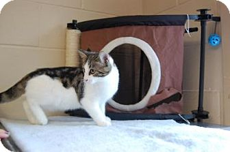 Domestic Shorthair Cat for adoption in South Haven, Michigan - Cosmo