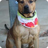 Adopt A Pet :: Ziggy - Greenville, SC