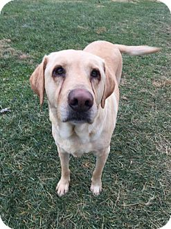 Labrador Retriever Dog for adoption in Xenia, Ohio - Bruce