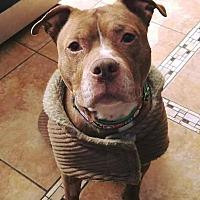 Pit Bull Terrier Mix Dog for adoption in Acushnet, Massachusetts - Meatball