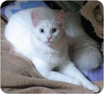 Domestic Longhair Cat for adoption in Cincinnati, Ohio - Snowball