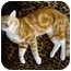 Photo 1 - Domestic Shorthair Cat for adoption in Cincinnati, Ohio - Scotty