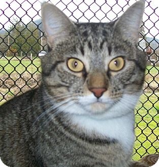 Domestic Shorthair Cat for adoption in Grants Pass, Oregon - Oakley