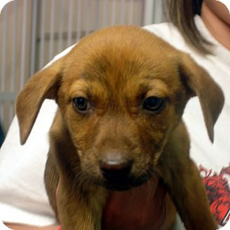 Beagle/Feist Mix Puppy for adoption in Greencastle, North Carolina - Meisha