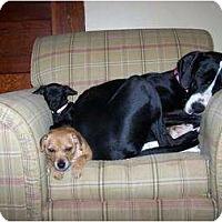 Adopt A Pet :: Ava - Oak Ridge, TN