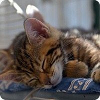 Adopt A Pet :: Tiny Tiger - Brooklyn, NY