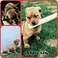 Adopt A Pet :: Atticus - bridgeport, CT