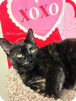 Domestic Shorthair Cat for adoption in Sewaren, New Jersey - Dottie