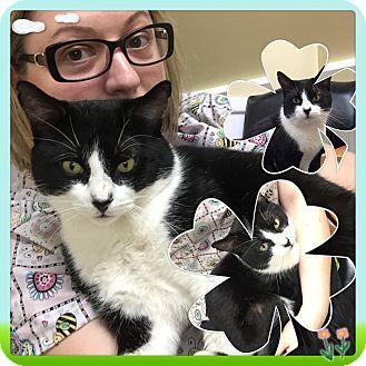 Domestic Shorthair Cat for adoption in Rye, New York - Binky