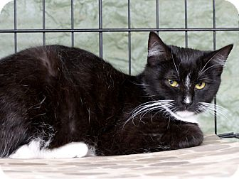 Domestic Shorthair Cat for adoption in Marlinton, West Virginia - Selena--RESCUED!