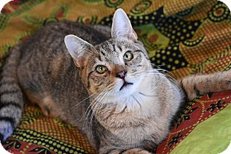 Domestic Shorthair Cat for adoption in Bristol, Connecticut - Jimmy