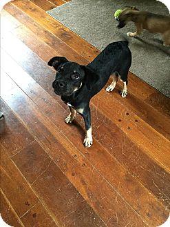 Rottweiler/German Shepherd Dog Mix Puppy for adoption in Colonial Heights, Virginia - Waldo