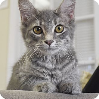 Domestic Shorthair Kitten for adoption in Knoxville, Tennessee - Applejack