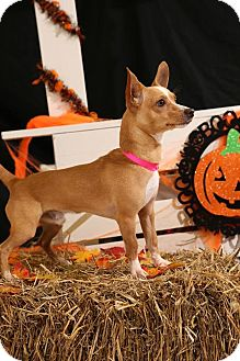 Chihuahua Mix Dog for adoption in Steger, Illinois - Rocky