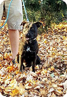 Labrador Retriever/American Staffordshire Terrier Mix Dog for adoption in Salamanca, New York - Alta