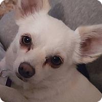 Adopt A Pet :: Shelby - Grass Valley, CA