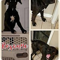 Adopt A Pet :: Roxanne 1 meet me 1/6 - Manchester, CT