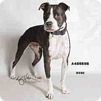 Adopt A Pet :: A465696 at Moreno Valley - Beverly Hills, CA