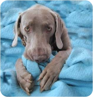 Weimaraner Dog for adoption in Attica, New York - Sophie
