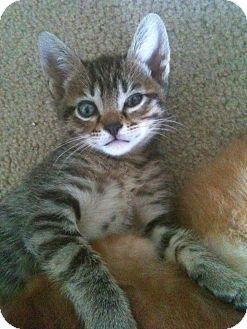 Domestic Shorthair Kitten for adoption in Austin, Texas - Kashmir