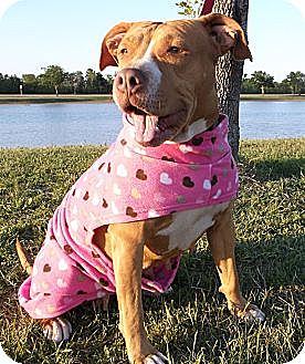 American Pit Bull Terrier/Rhodesian Ridgeback Mix Dog for adoption in New Hartford, Connecticut - ANASTASIA