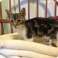 Adopt A Pet :: Tiger - Monroe, GA
