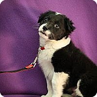 Adopt A Pet :: Klaus - Broomfield, CO