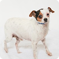 Adopt A Pet :: Ace - Jupiter, FL