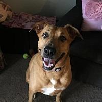 Catahoula Leopard Dog/Labrador Retriever Mix Dog for adoption in Orlando, Florida - Pippa