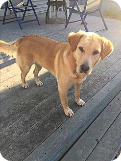 Labrador Retriever/Golden Retriever Mix Dog for adoption in Lima, Pennsylvania - Buttercup