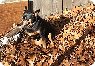 Miniature Pinscher Dog for adoption in Holland, Ohio - Wilbur