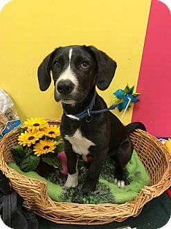 Labrador Retriever Mix Dog for adoption in Decatur, Alabama - Junior