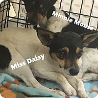 Chihuahua/Terrier (Unknown Type, Small) Mix Dog for adoption in New Braunfels, Texas - Miss Daisy