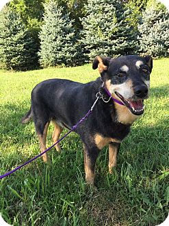Shepherd (Unknown Type) Mix Dog for adoption in Maryville, Missouri - Ruby