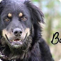 Adopt A Pet :: Bo - Joliet, IL
