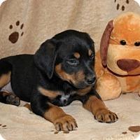 Adopt A Pet :: Dinah - Hagerstown, MD