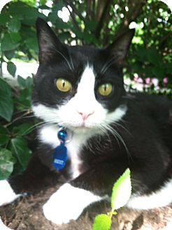 Domestic Shorthair Cat for adoption in Narberth, Pennsylvania - Walter