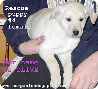 Labrador Retriever Mix Puppy for adoption in Centerpoint, Indiana - Olive