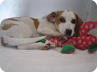 Beagle Mix Puppy for adoption in Manning, South Carolina - Alana