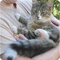 Adopt A Pet :: Sherry Timi cat - Cincinnati, OH