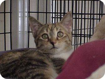 Calico Cat for adoption in Deerfield Beach, Florida - Tallulah